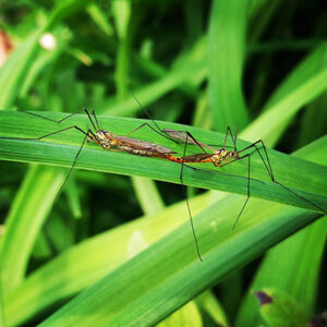 Crane Flies and other flying insects